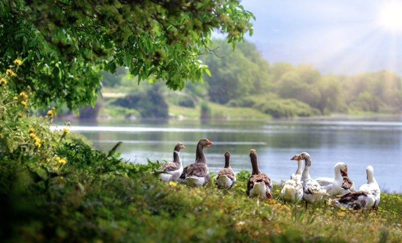 wild-geese 1000 600